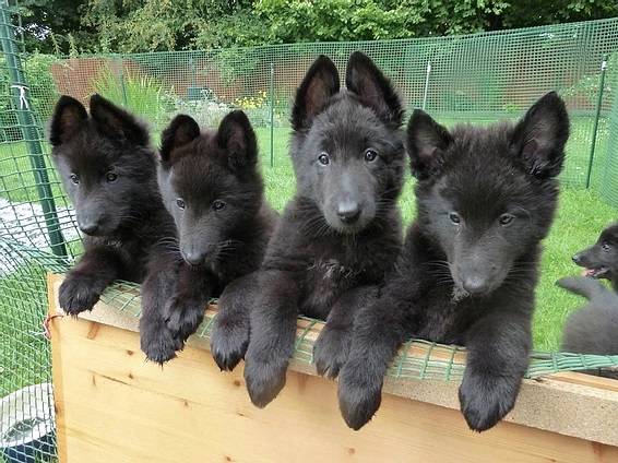 Socialising puppies, why we should think twice